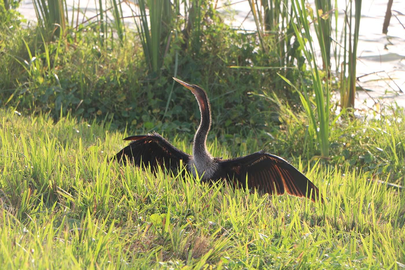 USA Florida Viera Wetlands Anhinga
